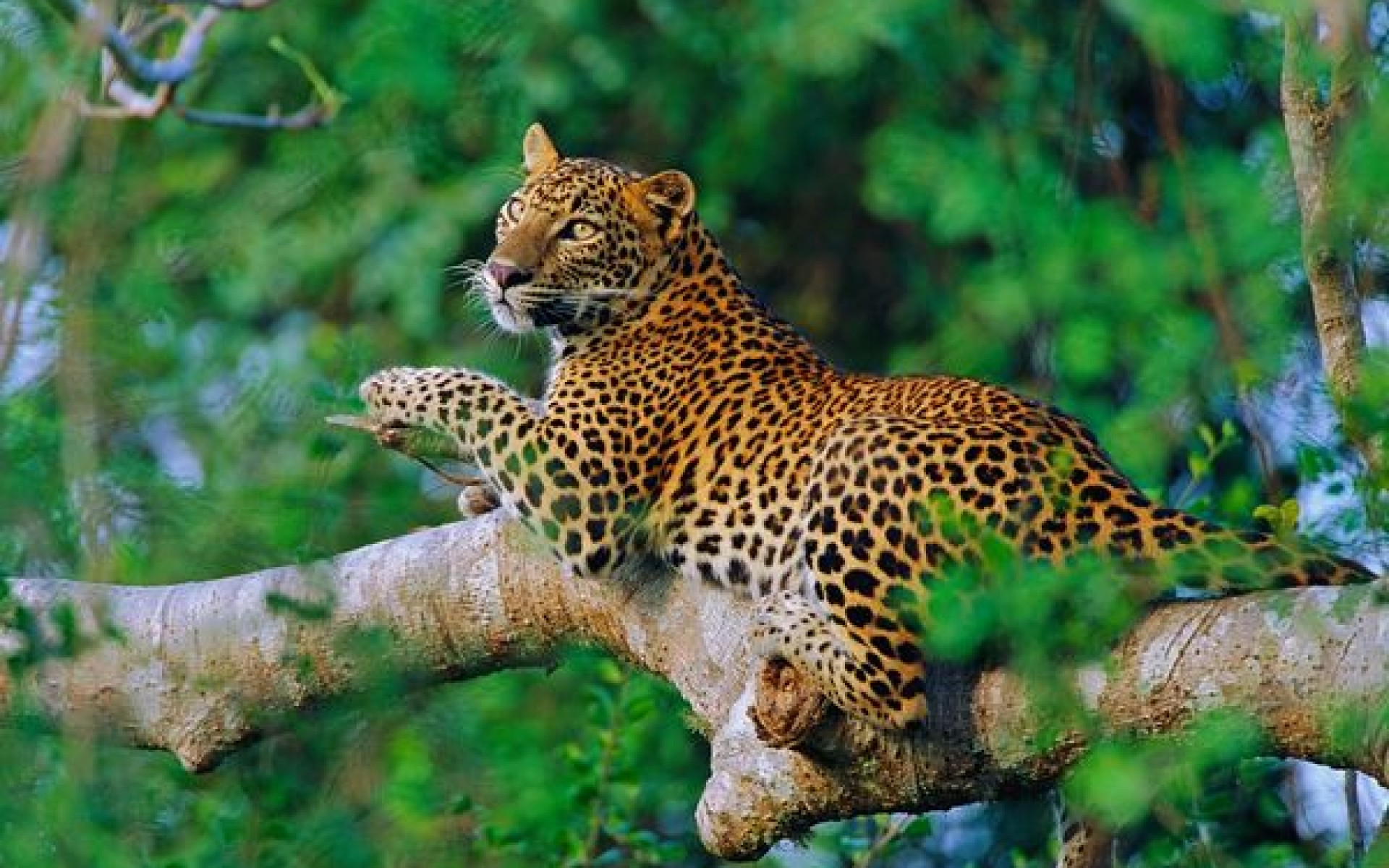 Sri Lankan Leopards